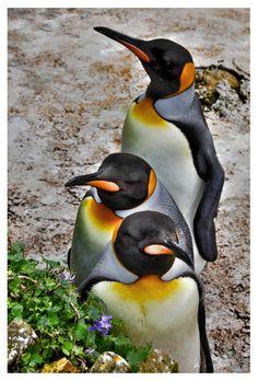 """King penguins"" by Aga Konopacka"