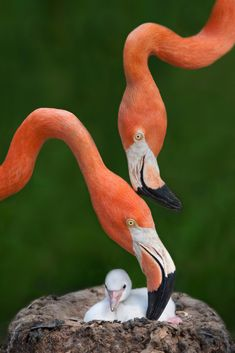 Caribbean Flamingo Family (by Xavier Ortega) Flamingo Bird, Pink Bird, Pink Flamingos, Flamingo Pictures, Greater Flamingo, Beautiful Birds, Beautiful Family, Animal Photography, Amazing Photography