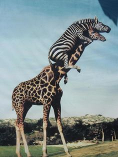 No way!   Zebra riding a giraffe.  Now how did this happen?