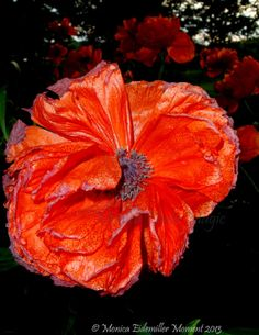 Red Poppy Flower by MonicaPhotoMagic on Etsy, $17.00