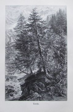 1896 LÄRCHE alter Druck antique Print Lithographie Baum Bäume