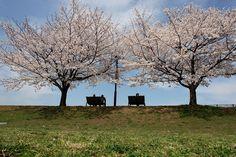 SAKURA, go to see the cherry blossoms、Tsurumi-river, Kodukue, YOKOHAMA
