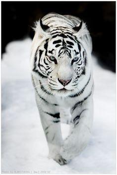 Dreamy white tiger