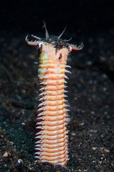 Bobbit Worm with it's jaws open outside of a hole in black sand during a night dive