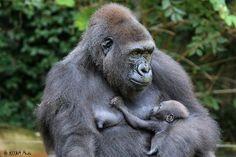Asha and Mondika (Mona is her nickname) Zoo Animals, Cute Baby Animals, Baby Gorillas, Ape Monkey, Cincinnati Zoo, Short Stories For Kids, Primates, Mothers Love, Monkeys
