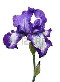 violette iris fleur isol e sur fond blanc Banque d'images
