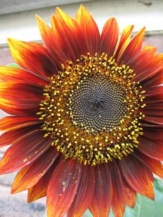 orange sunflowers - Google Search
