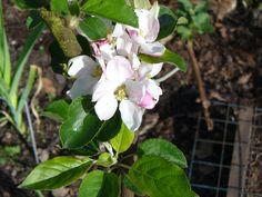 Apple 'Bountiful' blossom, May 2015