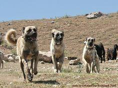 Kangal Shepherd Dogs