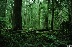 untouched by Paul Tixier, via Flickr - Cathedral Grove MacMillan Provincial Park, near Parksville and Qualicum Beach (Vancouver Island) Vancouver Island, British Columbia, Beautiful Landscapes, Trip Planning, Cathedral, Stuff To Do, Paradise, Bucket, Spaces