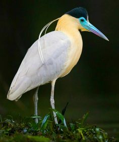 Capped Heron (Pilherodius pileatus). A South American heron. photo: Jeff Dyck.