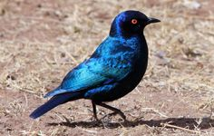 https://flic.kr/p/cSY4ES | Greater Blue-eared Starling, Lamprotornis chalybaeus at Marakele National Park, South Africa