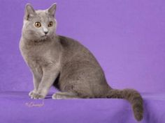 Chartreux ... These gorgeous cats originated in France and are quite rare today. They sound fascinating, though!