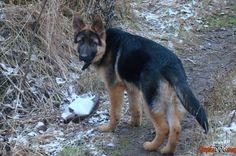 Foto do cão da raça Pastor