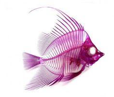 transparent fish Japanese Fisherman Turned Artist Creates Skeletal Artworks from Dead Animals Mermaid Skeleton, Fish Skeleton, Skeleton Art, Transparent Fish, Animal Skeletons, Cool Fish, Colorful Fish, All Things Purple, Fish Art