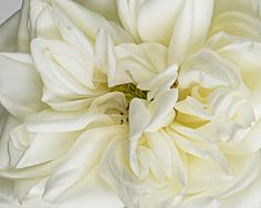 flower photography flower photograph fine art by SarahHollander Flower Photography, Fine Art Photography, Nature Photography, White Flowers, Peonies, Bouquets, Wall Art Prints, Gallery Wall, Wall Decor
