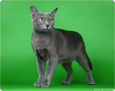 If this was a Russian Blue Manx it would be our Felicity. Beautiful Cats, Animals Beautiful, Animals Images, Cute Animals, Korat Cat, Manx Cat, Here Kitty Kitty, Kitty Cats, Russian Blue