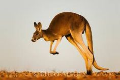 Image result for red kangaroo jumping