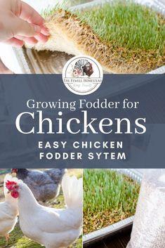Growing Fodder for Chickens—Chicken Fodder System | Amy K. Fewell Chicken Facts, Chicken Runs, Chicken Ideas, Chicken Garden, Backyard Chicken Coops, Urban Chicken Coop, Raising Backyard Chickens, Keeping Chickens, Urban Chickens