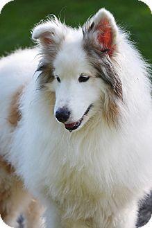 Harrisburg, PA Sheltie, Shetland Sheepdog/Pomeranian Mix
