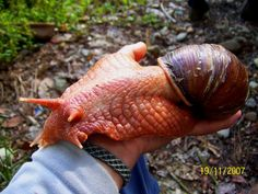 Megalobulimus is a genus of air-breathing land snail, a terrestrial gastropod mollusk