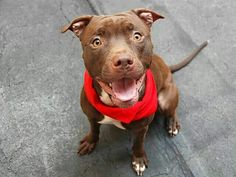 REST IN PEACE 7/17/14 Manhattan Center -P  My name is PJ. My Animal ID # is A1006117. I am a male brown and white pit bull mix. The shelter thinks I am about 2 YEARS  I came in the shelter as a STRAY on 07/10/2014 from NY 10466, owner surrender reason stated was STRAY.https://m.facebook.com/photo.php?fbid=837047176308163&id=152876678058553&set=a.611290788883804.1073741851.152876678058553&source=46