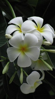 (via ✯ White Plumeria | Collection of great pictures)