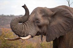 elephant images anatomy at DuckDuckGo Elephant Quilt, Elephant Face, Asian Elephant, Little Elephant, Elephant Head Drawing, Elephant Head Tattoo, Elephant Photography, Animal Photography, Wildlife Photography