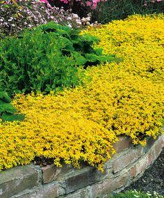 Gele muurpeper | Planten | Bakker Hillegom