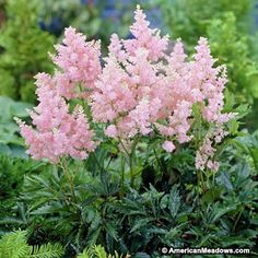Astilbe plants love the shade and thrive in borders and gardens with low light. Fluffy spikes of astilbe flowers appear in summer and add color to dark areas. Best Perennials, Shade Perennials, Shade Shrubs, American Meadows, Plantation, Garden Spaces, Backyard Landscaping, Landscaping Ideas, Gardens