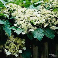 I planted a climbing hydrangea about five years ago and it has climbed nicely up a wooden fence but refuses to bloom. It is in a spot which receives morning sun. Last year I tried pruning some of it back in an effort to force/