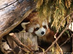 Red Panda 6 by Red Pandas, Animal Projects, In The Tree, Cute Animals, Fox, Magic Box, Fancy, Pets, Photography