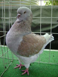 Mondena Pigeon Breeds, King Pigeon, Coops, Cuddles, Bird Watching, Bird Feathers, Beautiful Birds, Freedom, Wildlife