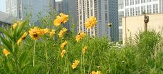 Urban roof meadow, so stunning.    Roof meadow on Chicago City Hall