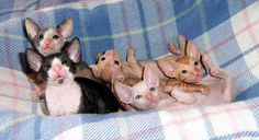 """Cornish-Rex-Kittens...""""Are we cute or what?!?"""""""