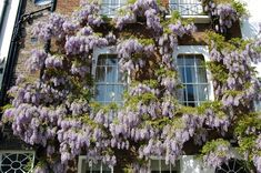 Wisteria sinensis | landscape architect's pages.