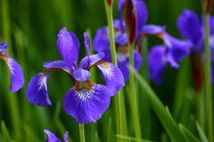 Bra tips för lättskött trädgård. Strandiris, beach iris, trädgård