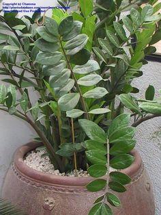 PlantFiles Pictures: ZZ Plant, Aroid Palm, Succulent Philodendron, Zanzibar Gem (Zamioculcas zamiifolia) by ChammaZZ Plant, Aroid Palm, Succulent Philodendron, Zanzibar Gem (Zamioculcas zamiifolia)