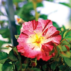 Fourth of July - Climbing Rose - Plant Encyclopedia - BHG.com