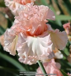 TB Iris germanica 'Picture Book' (Ghio, 2006)