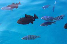 Fauna, peixes convivendo em harmonia com os outros espécimes e com o homem, preservação ambiental, Arquipélago de Fernando de Noronha, PE/ BR (gov pe)
