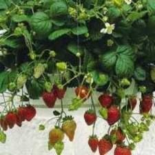 alpine strawberries - Google Search