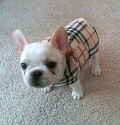 Dog Coat  Barkberry Plaid Homespun Cotton and by KozyCanines, $30.00