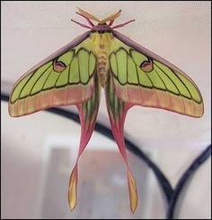 G. isabellae x A. dubernardi--Tiffany had to have been inspired by this moth