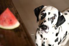 Watermelon for dogs *nomnom*