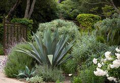 drought tolerant – Mediterranean plant palette of (Agave Americana, Echium cancicans, Iceburg rose, Lavender)