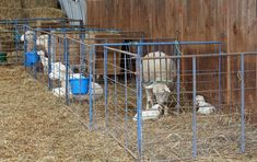 """After the ewes lamb, they are put into a small pen called a jug with their lambs.  After a day or two, they'll be moved to a """"mixing pen"""" with four ewes and their lambs.  Eventually, they'll be put in a big group.  Triplet moms will be separate from twin moms.  They go out to pasture once the grass comes."""