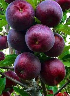 The Best 20 Garden Decoration Ideas Of 2019 Apple Fruit, Fruit And Veg, Fruits And Vegetables, Fresh Fruit, Fruit Plants, Fruit Garden, Fruit Trees, Exotic Fruit, Tropical Fruits