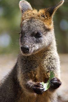 Wallaby, @ Matthew Weinel's Photos via 500px.com