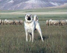 Kangal Dog - what a great photo.